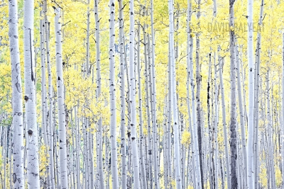 aspen trees autumn fall foliage Colorado