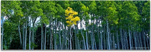 Aspen trees Colorado high-definition landscape photography