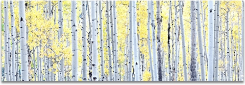 Aspen Trees panoramic Autumn Colorado high definition HD professional landscape photography
