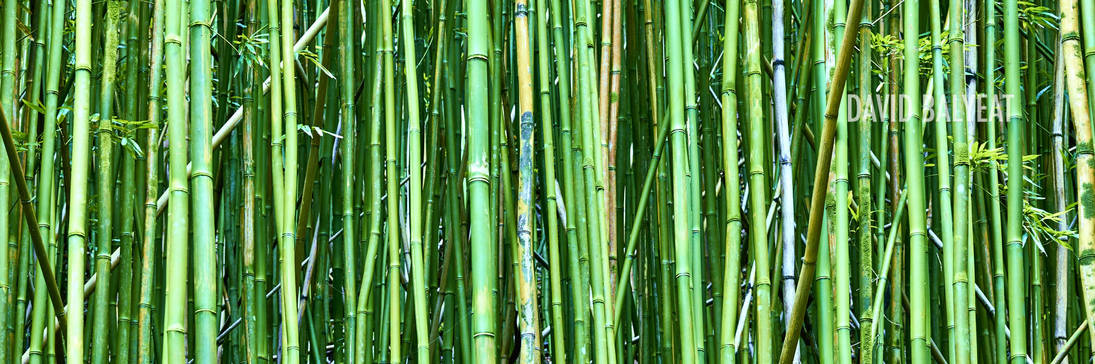 bamboo grove panoramic oahu Hawaii high-defintion HD professional landscape photography