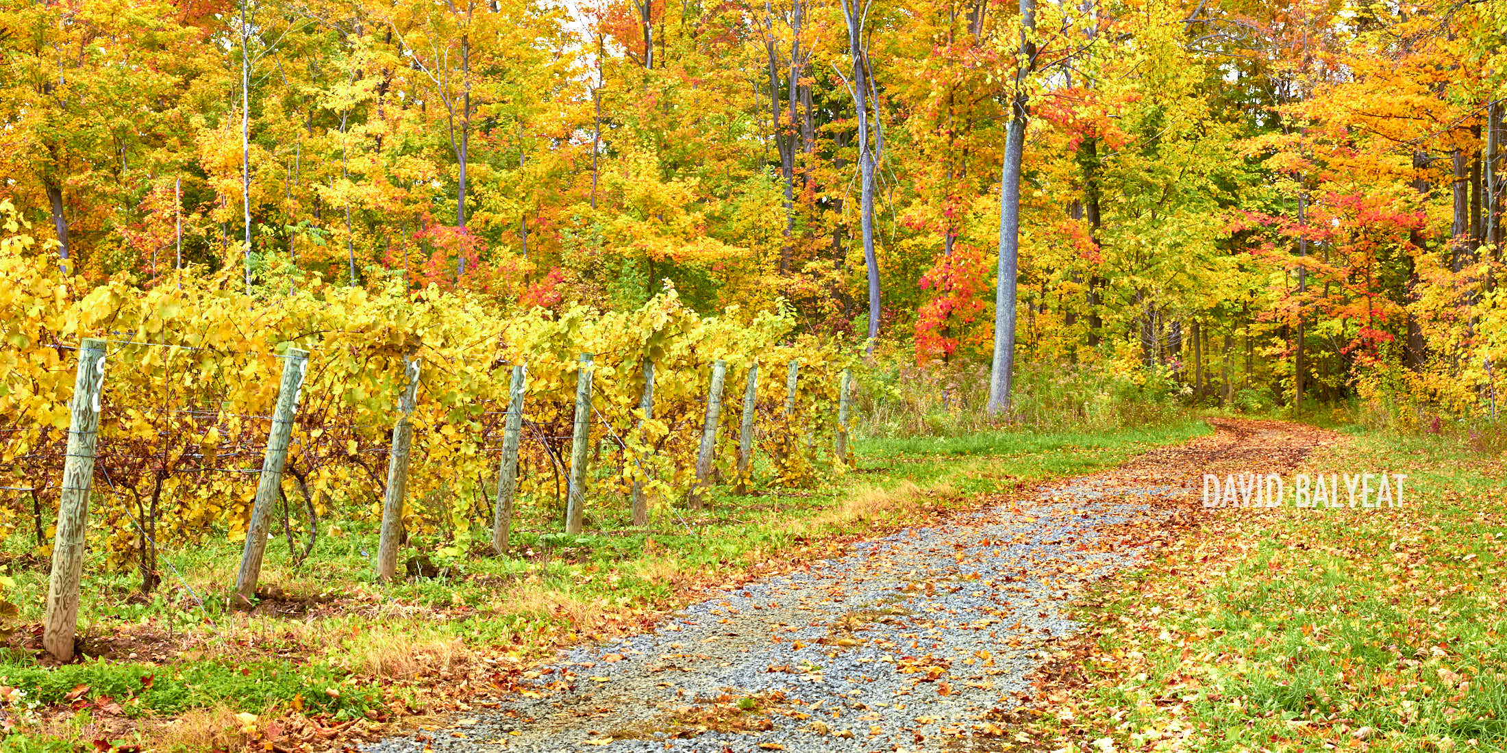 Finger Lakes vineyard path New York Autumn fall foliage fine art photography