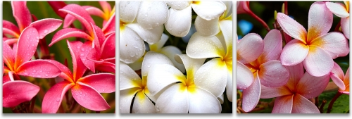 Hawaiian plumeria blossoms high-definition HD professional landscape photography