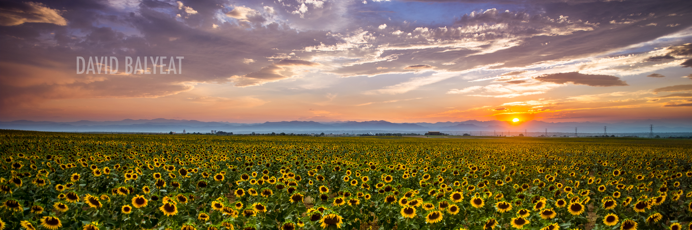 Sunflowers Colorado summer panoramic Denver sunset high-definition HD professional landscape photography