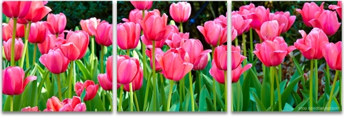 Tulips flowers spring awakening high-definition HD professional landscape photography