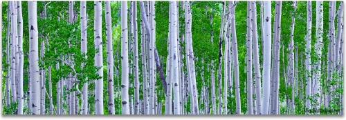 Aspen Trees Colorado summer green panoramic artwork
