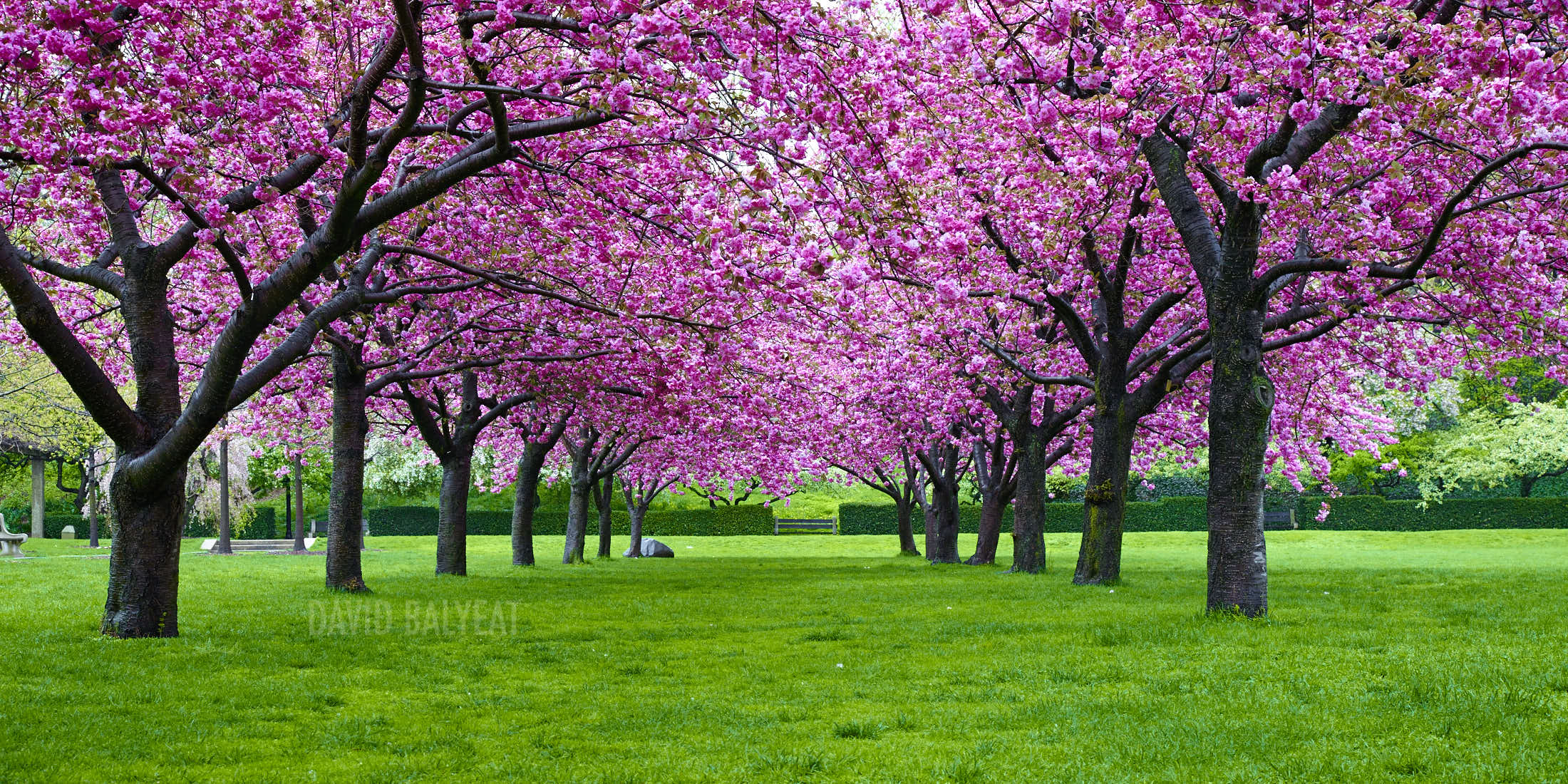 Pink cherry blossoms Brooklyn Botanic Garden David Balyeat photography