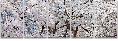 white cherry blossoms washington dc panoramic photography