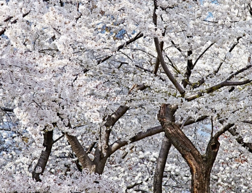 New Life – White Cherry Blossoms