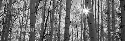 Colorado Aspen Trees black and white