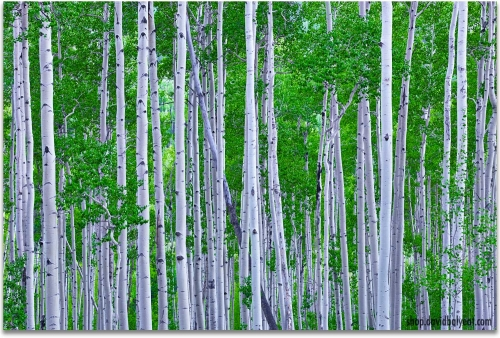 Aspen Trees Colorado summer green artwork