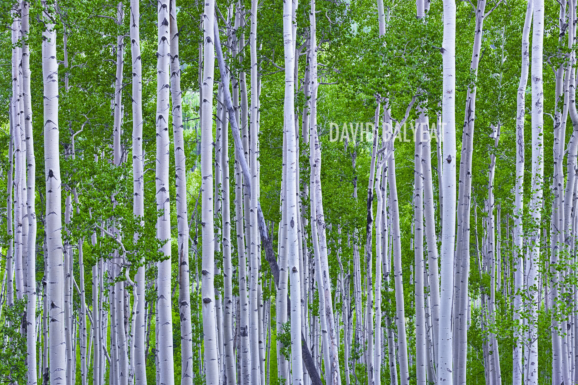 Aspen Trees Colorado summer green photography