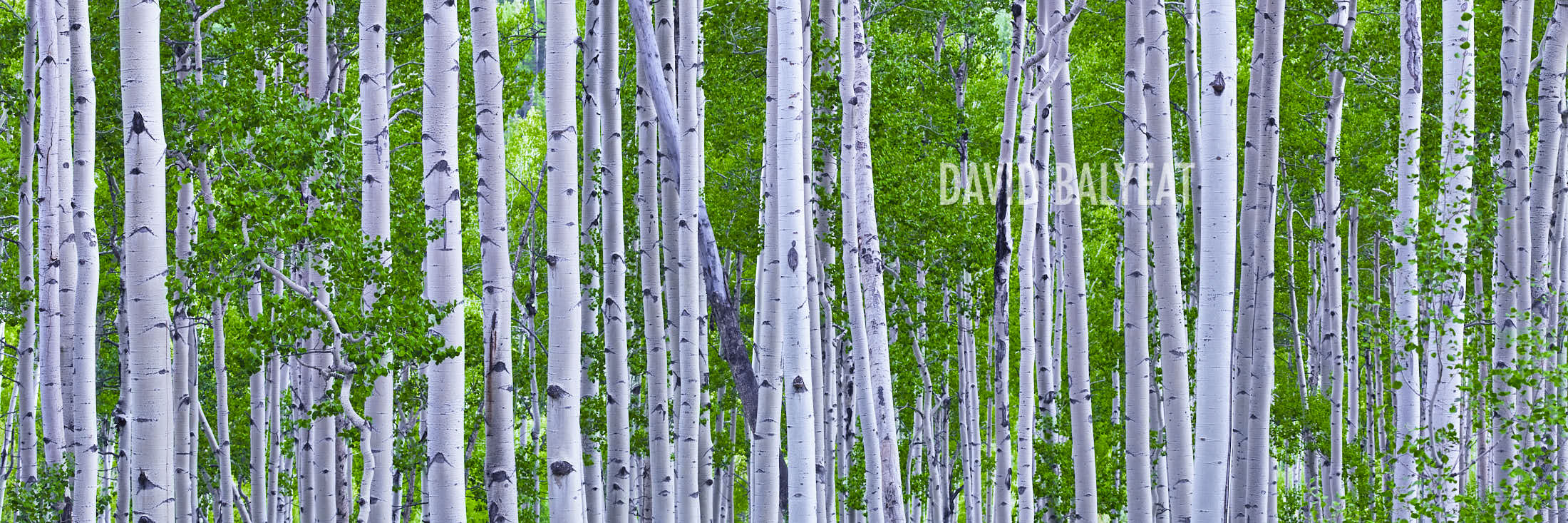 Aspen Trees Colorado summer green panoramic photography