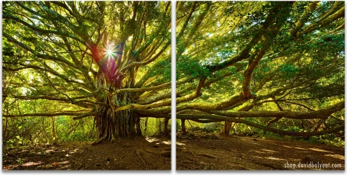 Giant Banyon Tree Hana Rainforest Haleakala National Park Maui Hawaii Tree of Life 2 panel artwork