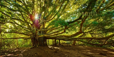 Giant Banyon Tree of Life Hana Rainforest Haleakala National Park Maui Hawaii